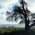 Clouds, Oak and Horses