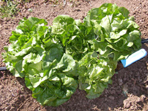 Lochness, Winter Density, Optima, Buttercrunch, and Dark Green Boston butter lettuce varieties