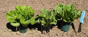 Jericho, Medallion, and Paris Island Romaine lettuce varieties