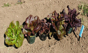 Rouge d'hiver, Cimmaron, Integrata, and Eruption red romaine lettuce varieties