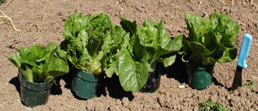 Claremont, Cosmo Savoy, Green Forest, and Green Towers Romaine lettuce varieties