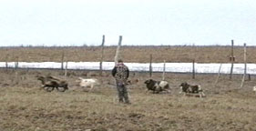 hunter approaches herd of sheep at canned hunt 281x144