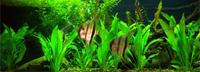 Tropical Freshwater Fish: Information on tropical freshwater fish including species descriptions, tips on aquarium care, and more.