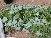 weedy direct seeded broccoli under fleece