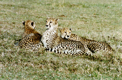 A mother cheetah and her cubs