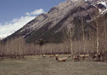 Large numbers of elk can reduce the growth of the aspen and willow vegetation that other species depend upon. Parks Canada photo provided by Cliff White
