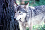 In Banff National Park, the wolf is an important factor in controlling herbivore numbers. Photo: © Parks Canada, 1998