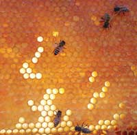 Bees from one of Miller's hives. SINGELI AGNEW