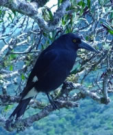Lord Howe Currawong