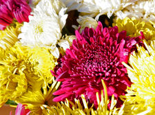 A cluster of chrysanthemums