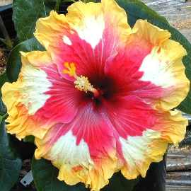 """Lookitthat"" hybrid hibiscus Photograph Is Courtesy of the American Hibiscus Society"