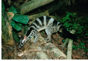Owston's Palm Civet