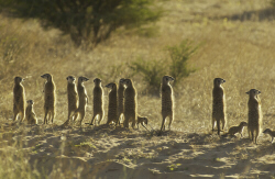 The Whiskers mob of Meerkat Manor