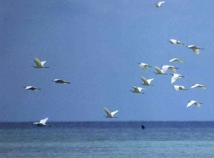 The Egrets arriving from distant China in flight above the waters of Olango