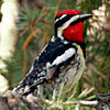 Red-naped Sapsucker by Karen L. Sirna