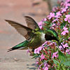 Male ruby-throated hummingbird with black throat by Jerry Acton