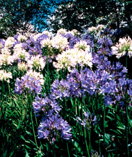 Dense clumping roots of Agapanthus displace all other vegetation