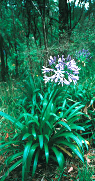 Agapanthus spreading into bushland from a nearby garden