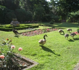 geese with breakfast: