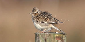 Woodlark perching on fencepost