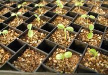 Germinating papaya seedlings