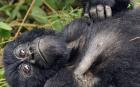 Drunk gorillas