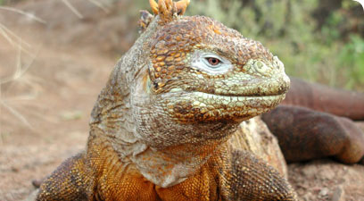 Land iguana, Conolophus subcristatus - these iguanas, which Darwin encountered on his voyage on the Beagle, are found only on the Galapagos Islands.