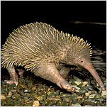 Brainy Echidna Proves Looks Aren't Everything