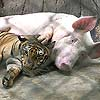 Tiger and Pig friends