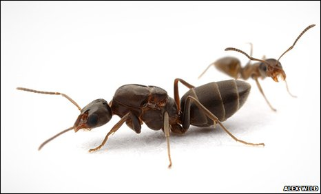 Queen and worker Argentine ant (Linepithema humile)