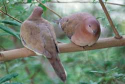 A senegal (or laughing dove) pair
