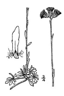 Line Drawing of Antennaria microphylla Rydb.
