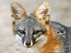 A picture of a critically endangered island gray fox.
