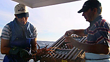 Fishermen inspect rock lobster