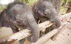 Newly born male elephant twins play in Tha Lad, Surin, Thailand