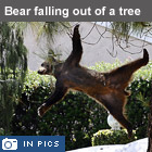 Bear falling out of tree