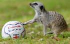 Seemples the meerkat gets in some practice for the World Cup at Exmoor Zoo in Devon