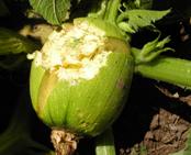 Pumpkin split from hail damage