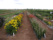 Specialty Crops Program Cut Flower Demonstration