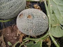 Melon with Hail Damage