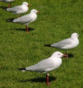 Silver Gulls on the grass.