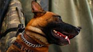 Bomb-sniffing dogs are soldiers' best friends