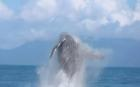 Giant humpback whale gives spectacular display