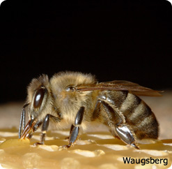 A worker bee.