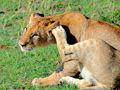 非洲草原遇野生狮群