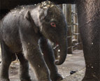 'Miracle' Elephant Baby Beats the Odds