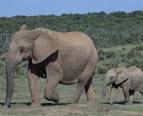 Elephants' Legs Work Like Four-Wheel Drive