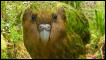 Copyright Shanne McInnes - The World Rarest Birds