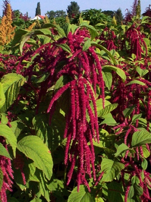 amaranth in full bloom: