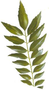 curry leaf: